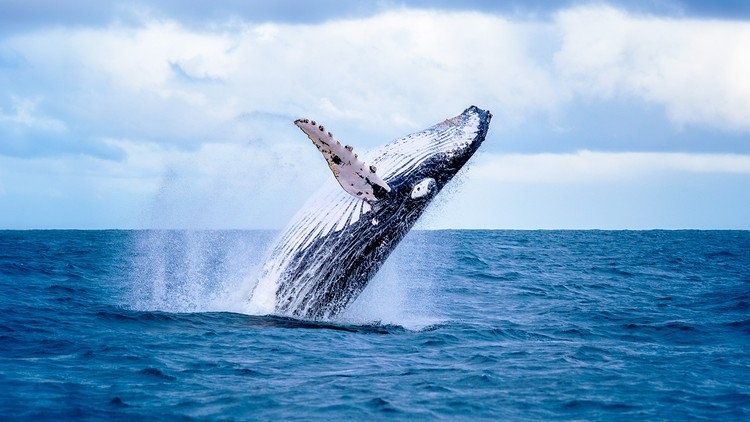 Whale at sea jumping
