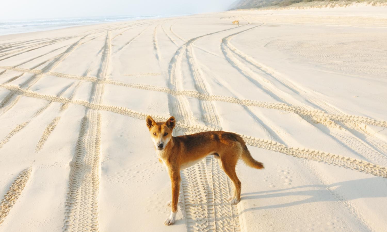 Fraser Island wild dingo