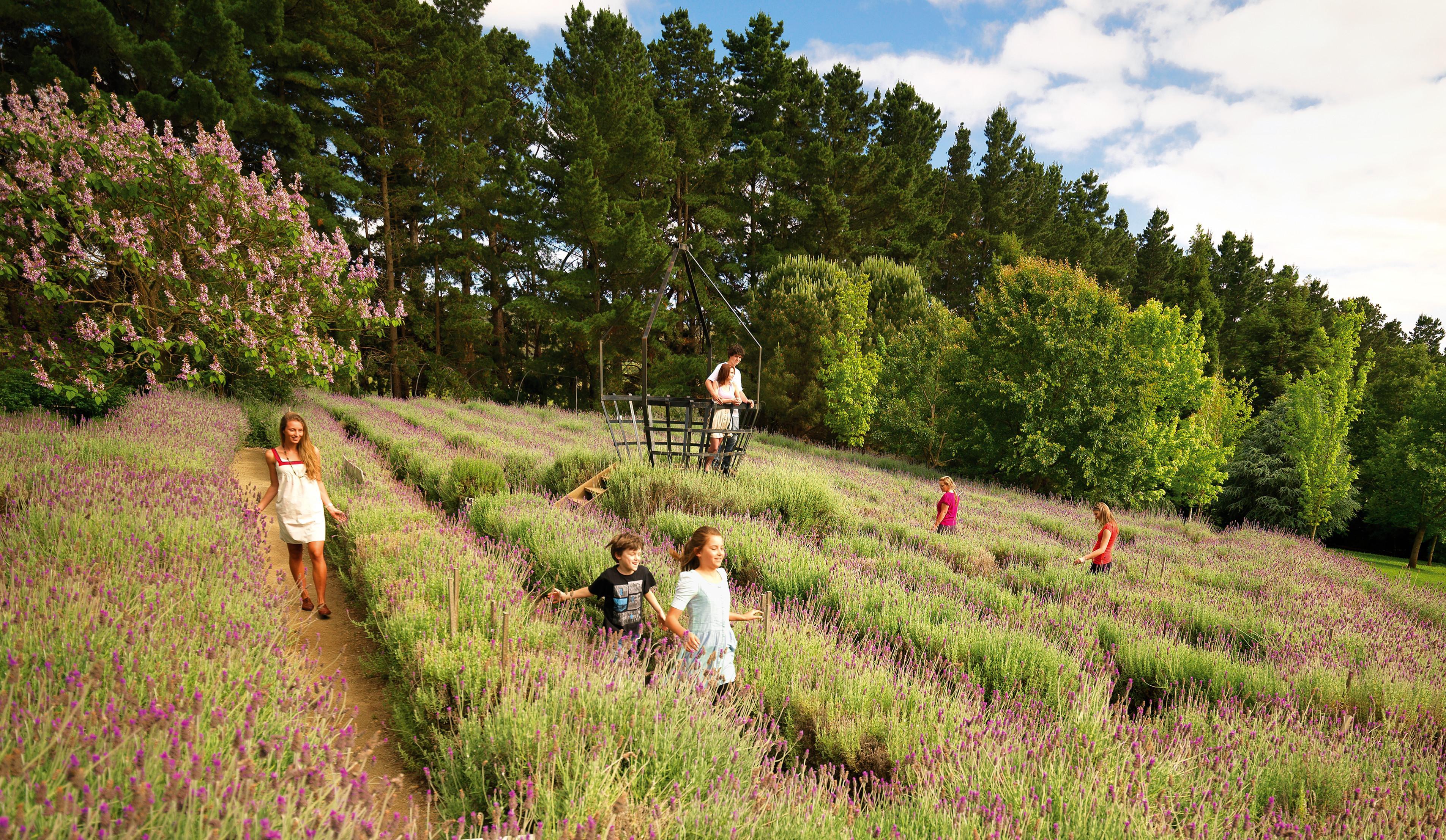 Ashcombe Maze and Lavendar Gardens