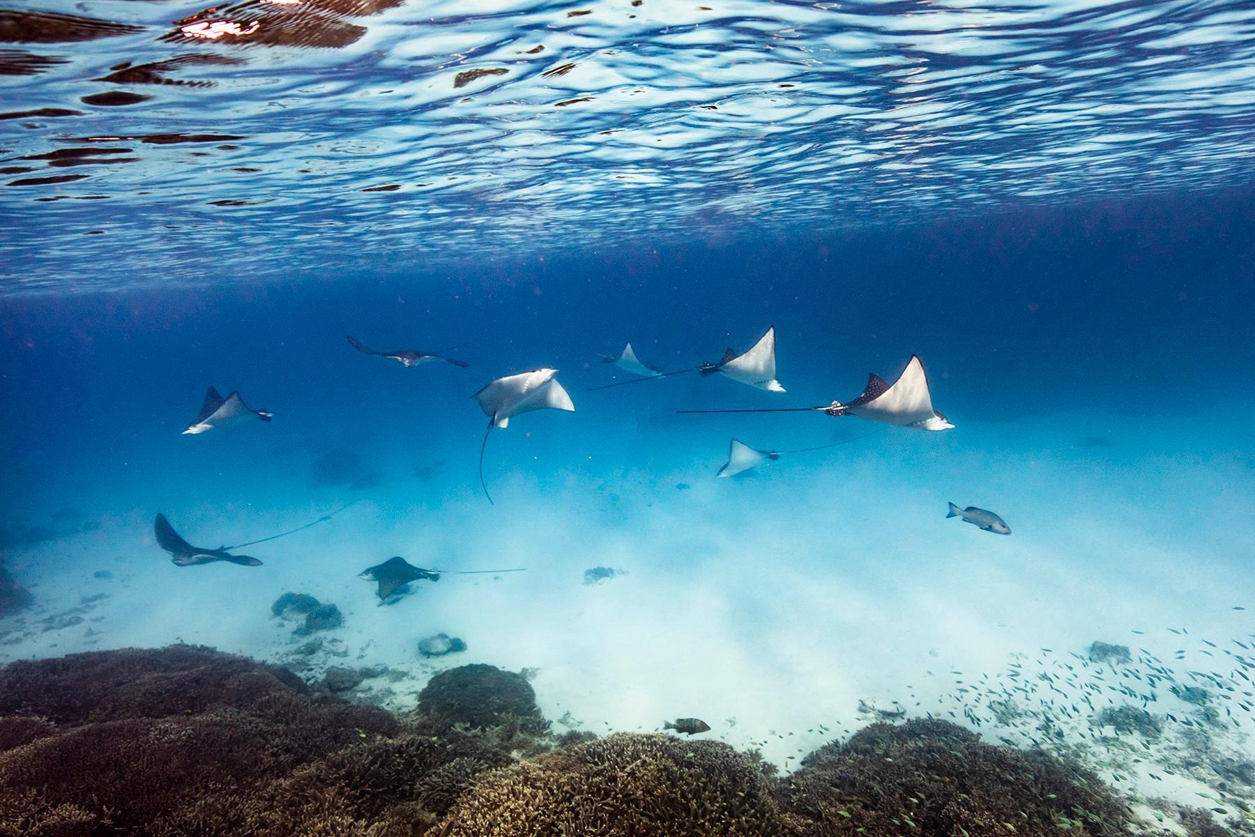 Manta Ray migration