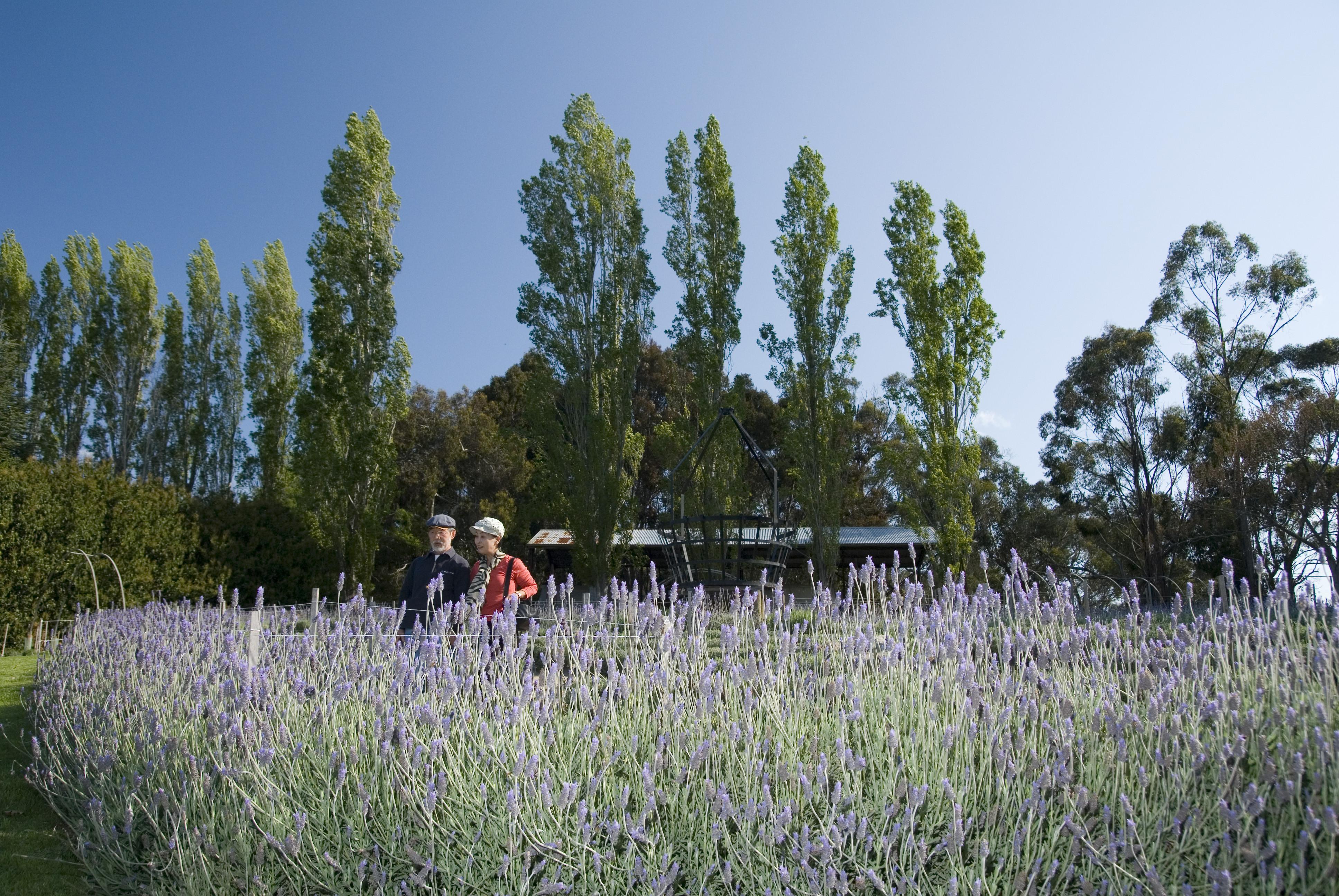 Ashcombe Maze and Lavender Farm